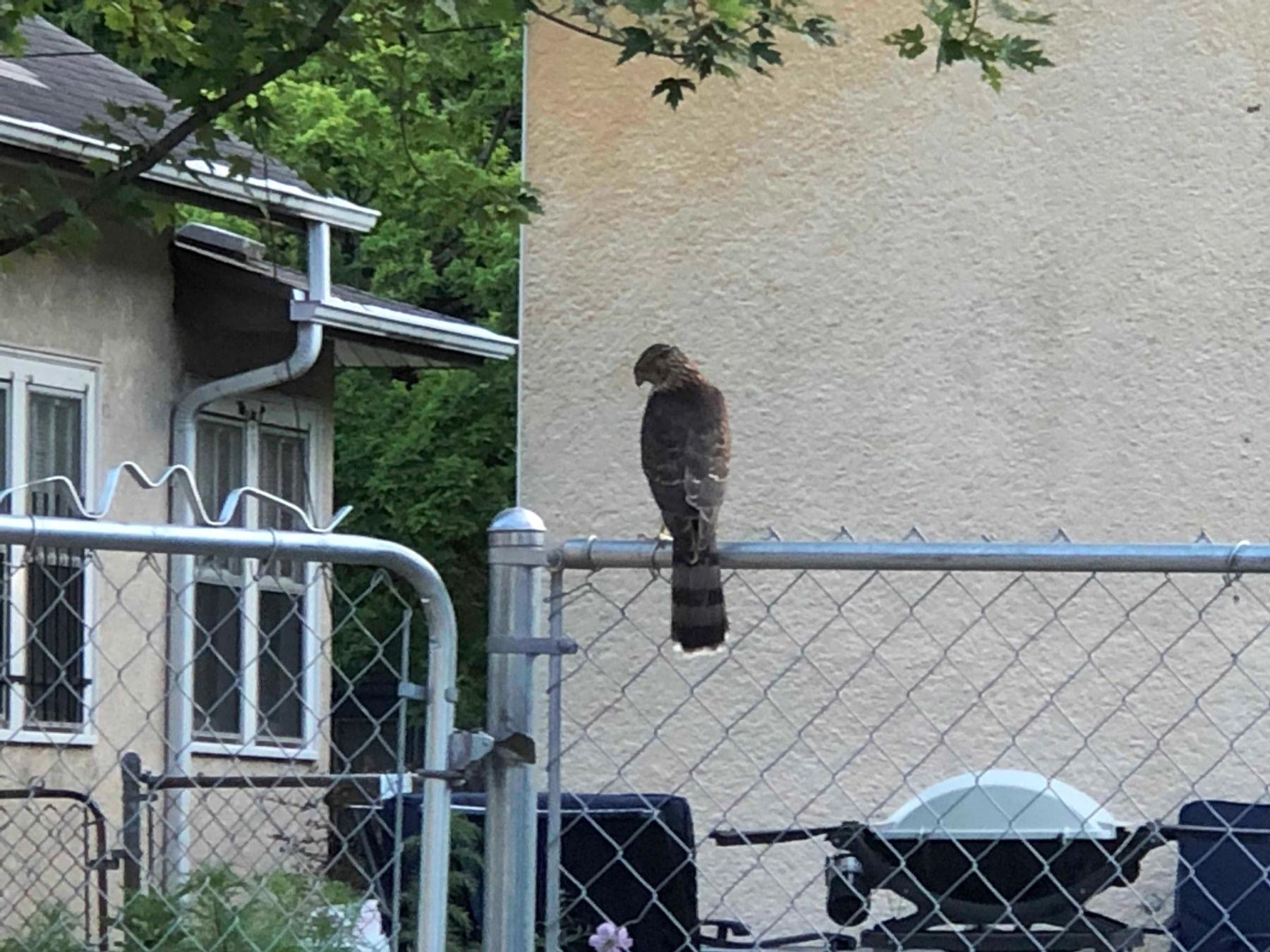 Cooper's Hawk on fence