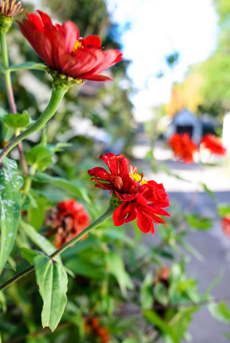 redflowers closeup in alley