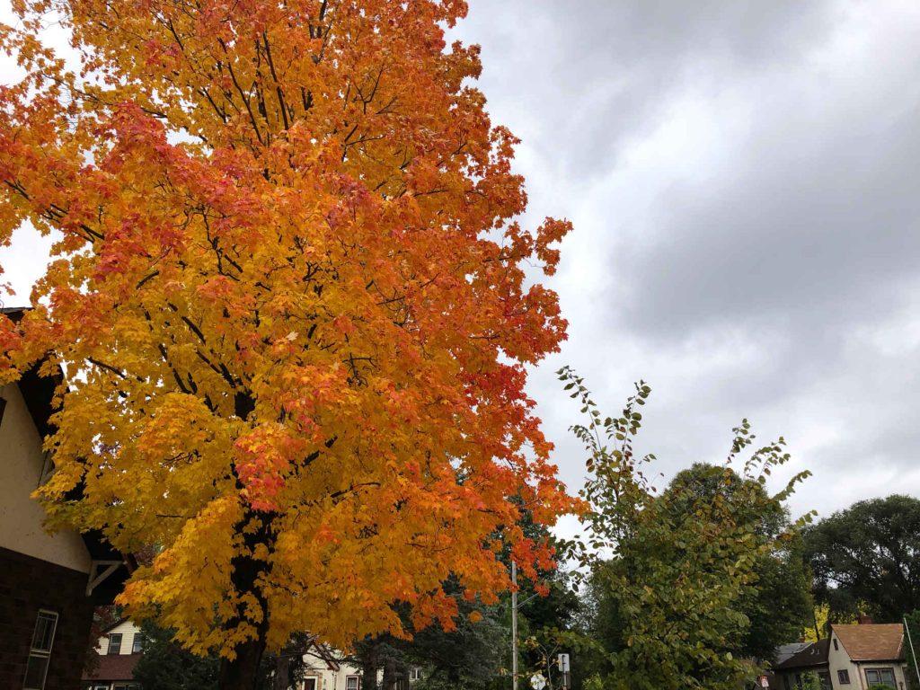 Fiery-colored maple tree