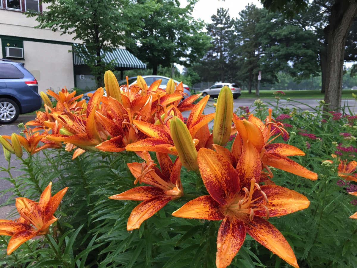 Sunburst orange asian lilies with green foilage