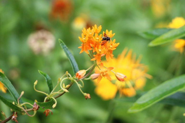 A single bee on an orange flower against green foilage
