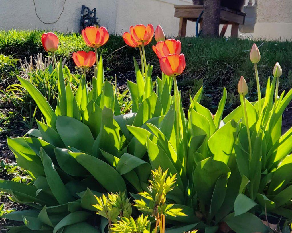 GLowing orange-yellow tulips with greenery in sunlight