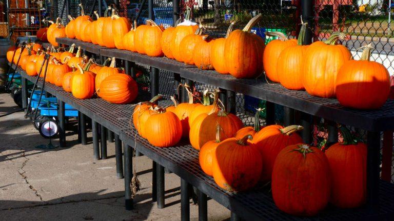 Two long rows of big orange pumpkins on shelves outdoors