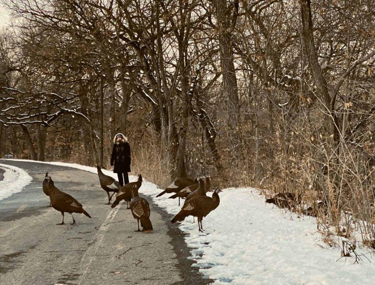 flock of a half dozen wild turkeys on a walking path in front of a woman around bare trees in winter