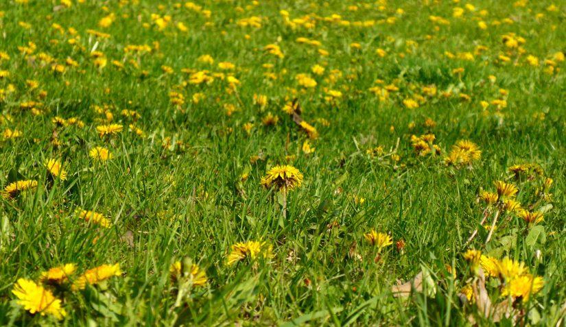 field of bright yellow dandelion flowers on green grass